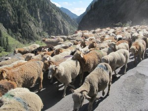 Driving past one of the large flocks of sheep coming down some of the narrow roads