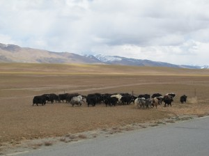 Lots of yak herds in these more inhabited parts of Tibet.