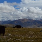 Yaks on the countryside